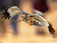 Northern Harriers (Circus cyaneus)
