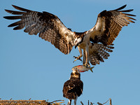 Ospreys (Pandion haliaetus)