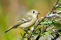 Kinglets, Gnatcatchers