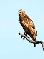 Red-tailed Hawks (Buteo jamaicensis)