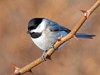 Titmice and Chickadees